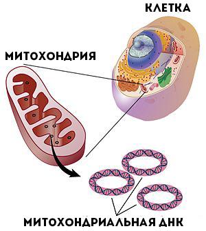 Митохондриальная ДНК