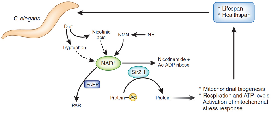 Никотинамид мононуклеотид NMN